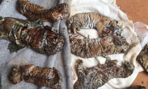 image: Fant 40 døde tigerunger i tempelfryser i Thailand