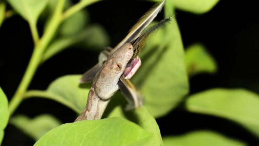 SULTEN: Kvelerslangen livnærer seg av fugler, frosk og smågnagere. Foto: R. Graham Reynolds/University of North Carolina Asheville