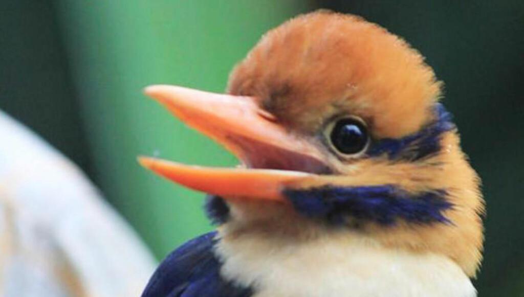 TRUET: Det er riktig å si at mustasjeisfuglen tilhører en art som er truet, men den er ikke så sjelden som Dagbladet hevder, skriver artikkelforfatteren. Foto: American Museum of Natural History