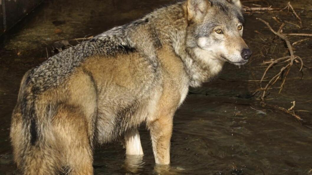 <strong>Vil bli kvitt ulven:</strong> Uten ulv kan vi legge til rette for at mange millioner dekar beitemark kan brukes og mange millioner kilo kjøtt produseres, skriver Alf Ulven. Kilde: scanpix.