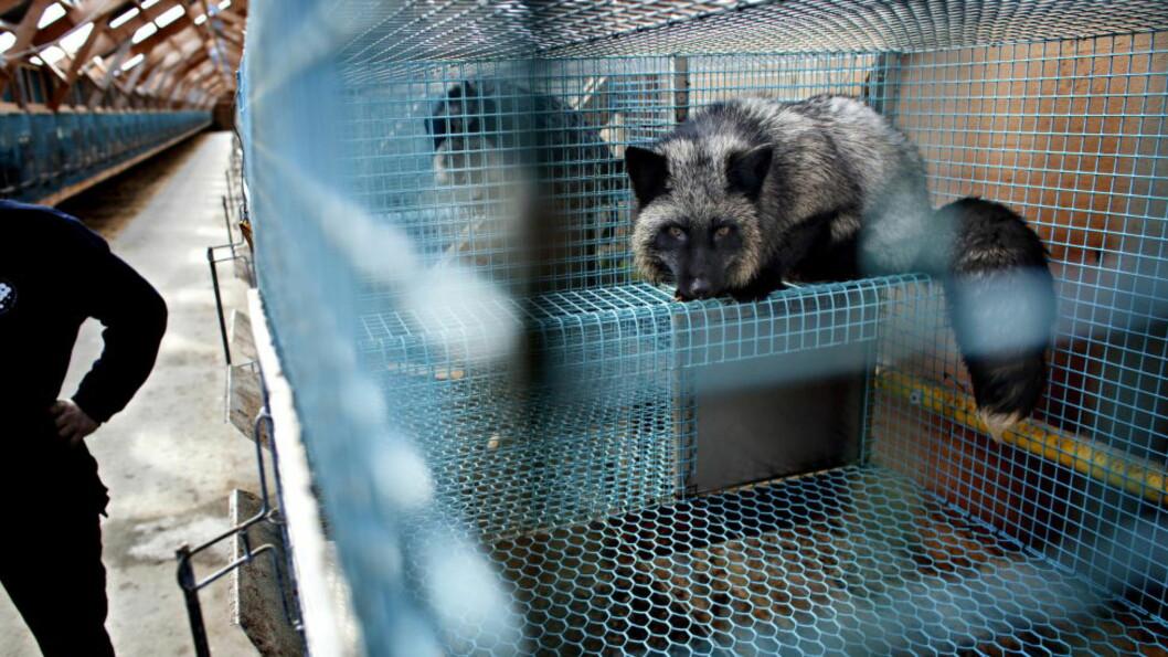 <strong> Pelsfarmer:</strong>  - Norge trenger ikke pelsdyroppdrett. Vi trenger å avvikle det, skriver artikkelforfatter. Foto: Lars Eivind Bones