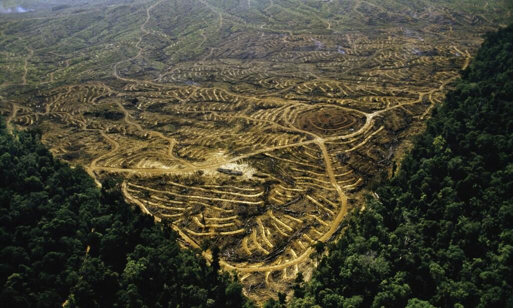 OMSTRIDT HOGST: Tropisk regnskog har måttet vike for palmeoljeproduksjon på Sabah, Borneo. Foto: NTB Scanpix