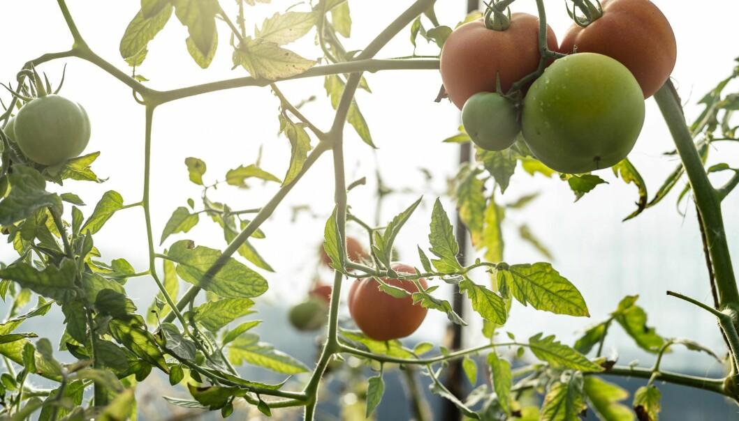 <strong>FRAMTIDA:</strong> Det er i skjæringspunktet mellom smart konvensjonelt landbruk og innovativt økologisk at framtida ligger, ikke i skyttergravene, skriver Andreas Viestad. Foto: Ilja Hendel / NTB Scanpix
