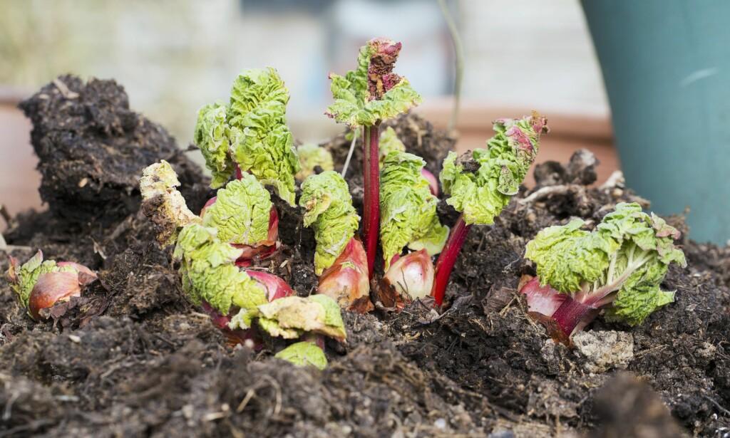 NYE SKUDD: Rabarbra kan høstes fra mai til september, med riktige vekstvilkår og behandling sier Ingebjørg G. Wold. Foto: BON APPETIT/SCANPIX