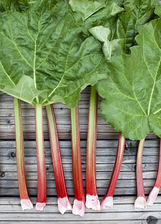VRI: Når du skal høste inn rabarbra er det best å vri dem av, ikke skjære. Foto: MASKOT/SCANPIX