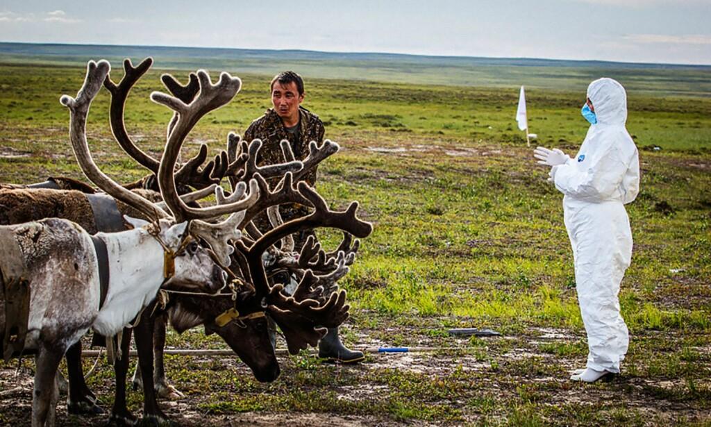 MILTBRANNFRYKT: Dette bildet som russiske beredskapsmyndigheter publiserte i 2016 viser en veterinær som sjekker reinsdyr på Jamal-halvøya. Foto: AFP PHOTO /Russian Emergency Ministry / NTB Scanpix
