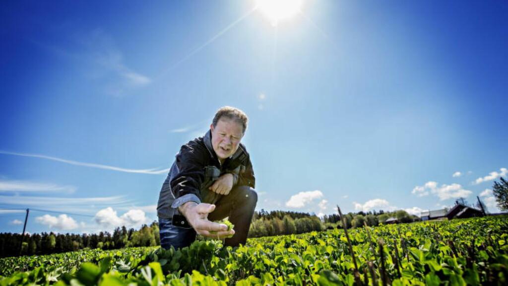 TRENGER HUMLA: Bonden Per Oskar Ørmen har drevet med kløverproduksjon på gården sin i råde i østfold de siste sju åra. Han forteller at størrelsen på avlinga er avhengig av hvor mange humler som har pollinert kløveret i løpet av sommeren. Foto: Anita Arntzen / Dagbladet