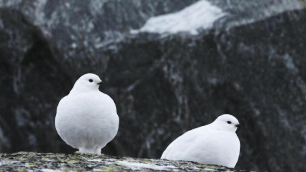 Noen steder ser man imidlertid allerede at varmere klima har negativ effekt for enkelte arter. - Mange fjellfugler gjør det dårlig, blant annet begge rypeartene, sier Steel i SABIMA. Foto: Erlend Haarberg / NN / Samfoto