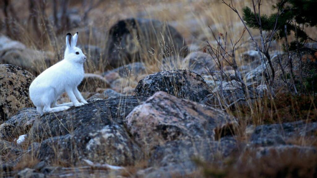 TRUET:  Haren er nå for første gang kommet med på rødlista. Haren blir hvit om vinteren, noe som gir god kamuflasje. Men når snøen uteblir, blir den hvite haren lett synlig og sjansen for å bli tatt øke, ifølge WWF. Foto: Scanpix.