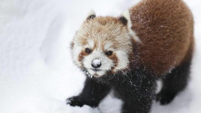 Panda Har Vaert Savnet Et Dogn I Kristiansand Dyreparken