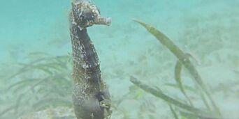 image: Fanget sjøhestfødsel på film: - De var supergravide og klare til å sprekke