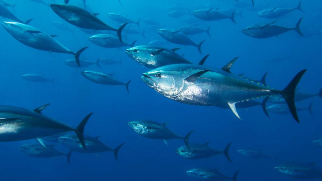 BESTANDEN STUPER: Bestanden av tunfisk og annen fisk i makrellfamilien har stupt de siste 40 åra. Foto: NTB Scanpix
