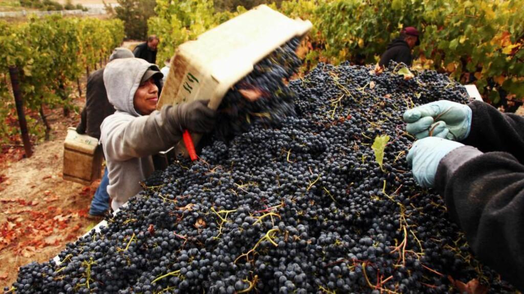 DRUEPLUKKING: Pinot noir-druene danner grunnlaget for noen av vinene fra California. Foto: STOCKFOOD / NTB SCANPIX