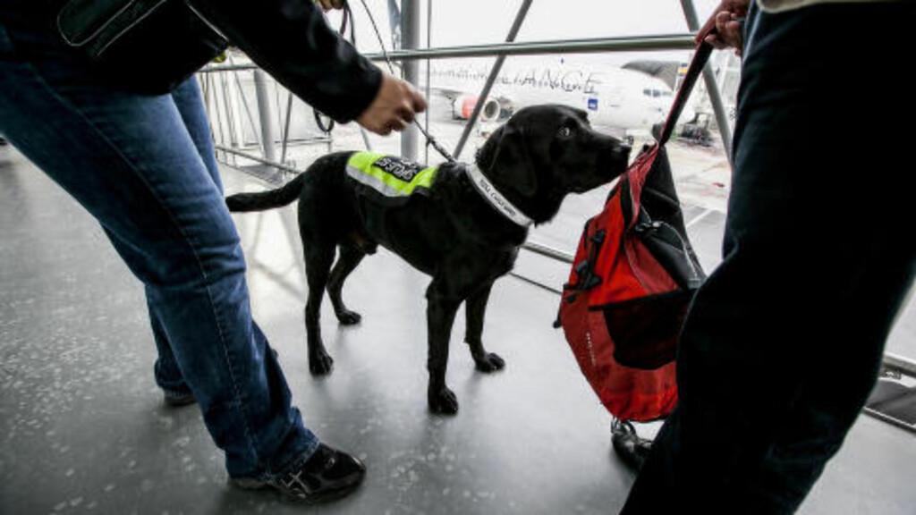 VALUTAHUND:  Tollvesenets valutahund Ben søker på flyplassasjerer på Oslo lufthavn Gardermoen. Også Rygge har valutahund. Foto: Tollvesenet/nyebilder.no.
