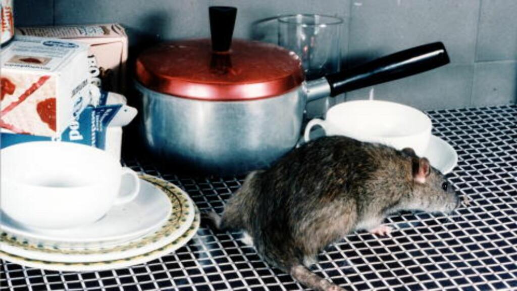 PÅ KJØKKENBENKEN: Rotter trives veldig godt ved gammelt matavfall. Illustrasjonsfoto.