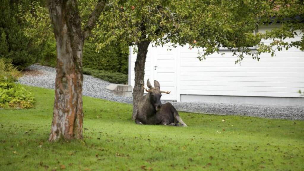 HØY PLOMMILLE:  Elgen tok seg en pust i bakken etter å ha fått litt for mye innabords. Foto: Anita Gjøs/Østlandets Blad