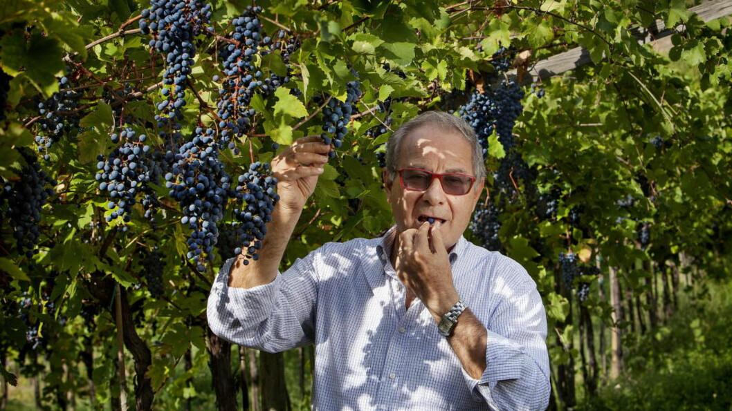 DRUENE ER KLARE: : Sandro Boscaini har ansvaret for 400 hektar vinmark med amaronedruer. Før innhøstingen starter, smaker han på og sjekker druene flere ganger i uka, for å avgjøre når druene skal plukkes. Alle foto: Mette Møller