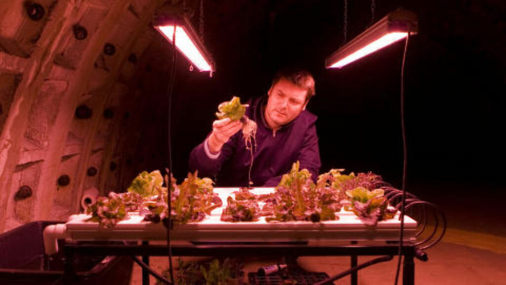 INNHØSTING: En av de ansatte studerer avlingen i dypet under London. Foto: GROWING UNDERGROUND
