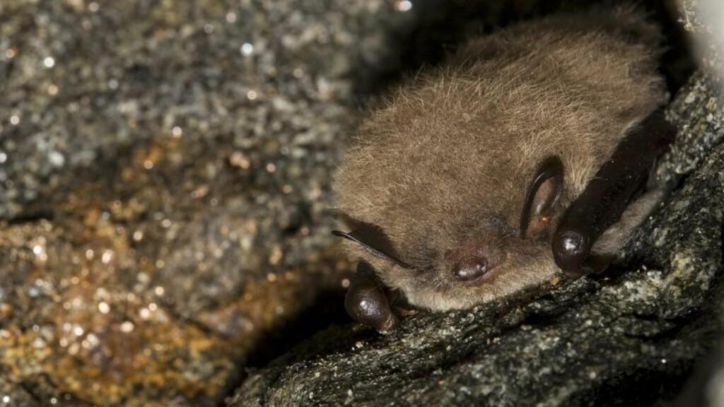 RABIES: Det er påvist rabies hos en død vannflaggermus i Valdres. Dette bildet viser en overvintrende vannflaggermus i en gruve i Bjerkreim, Rogaland. Foto: Roy Mangersnes / NN / Samfoto