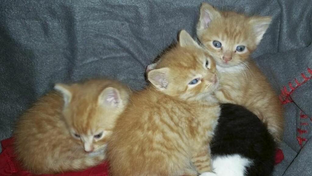 TRENGER ET HJEM:  - Kattungene er friske og sunne, men de trenger et hjem og en katt som kan amme dem, sier Elisabeth Engen, kontaktperson i Dyrebeskyttelsen Norge i Lofoten. Foto: Elisabeth Engen
