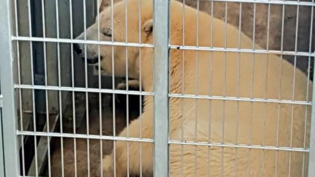 FIKK BESØK: Isbjørnen Nissan vel framme i reservatet i Doncaster, men underveis på reisen fikk den nesten to år gamle isbjørnen uventet besøk da flere flyktninger tok seg inn i lastebilen hans i Calais i Frankrike. Foto: NTB Scanpix
