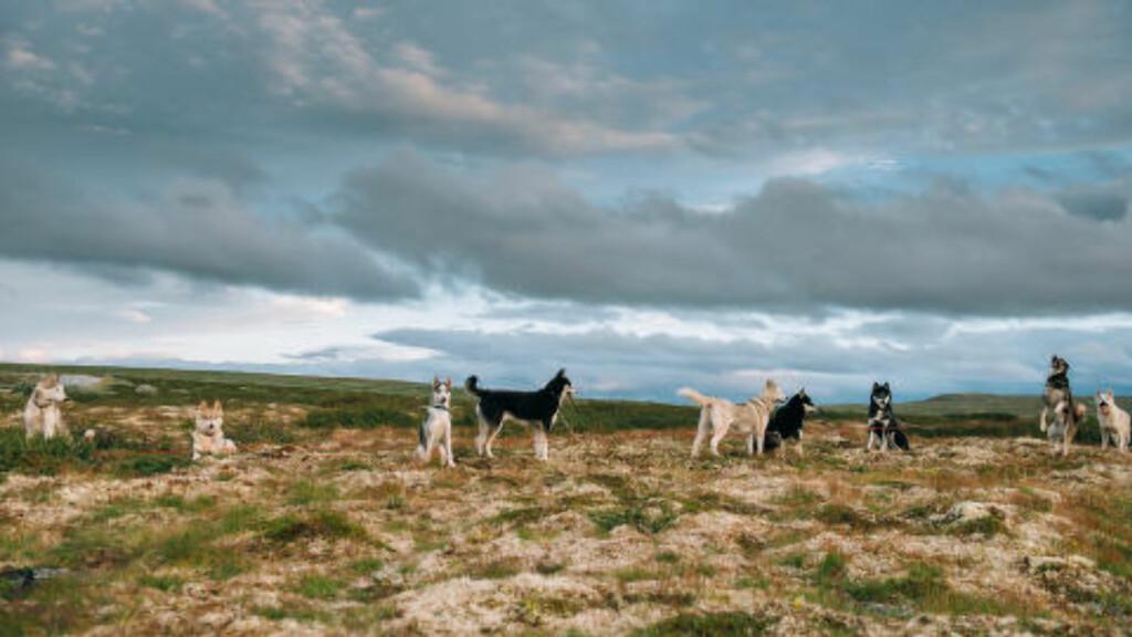 TREKKHUNDER: Noen av turene er med Bergen trekkhundklubb, derfor er det også andre hunder med på flere av bildene på den etter hvert så populære Instagram-kontoen. Foto: HENRIK VIKSE