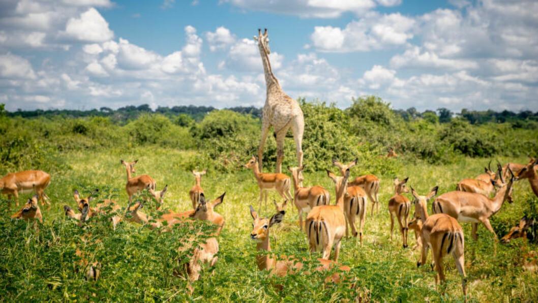 SAFARILIV: - Botswana er et av landene med de fineste, men merk deg også de dyreste, safariene. Så får du også valuta for pengene, sier Helge Baardseth i reisemagasinet Vagabond. Foto: EDWIN REMSBERG / ZUMA PRESS / NTB SCANPIX