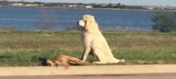 Hunden nektet å forlate sin døde venn etter at hun hadde blitt påkjørt