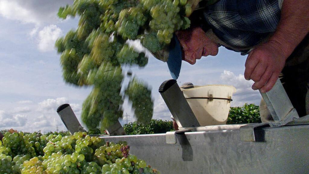 Lykkes flere steder:  I Bordeaux-regionen viser sauvignon blanc-druen seg fra sin beste side. Disse druene er plukket på vingården Carbonnieux, og brukes i vinproduksjonen sammen med den lokale semillon-druen. Foto: REUTERS/Regis Duvignau
