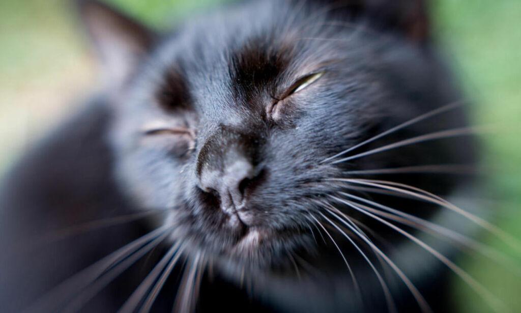 image: Australia erklærer krig mot katter. Skal drepe to millioner før 2020