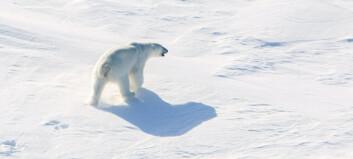 Forskere frykter for isbjørnbestanden i Barentshavet