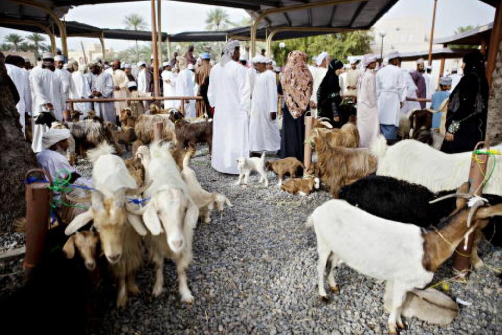 DYREMARKED: Geiter, kuer og okser vises fram og selges på fredagsmarkedet i Nizwa. Foto: Nina Hansen