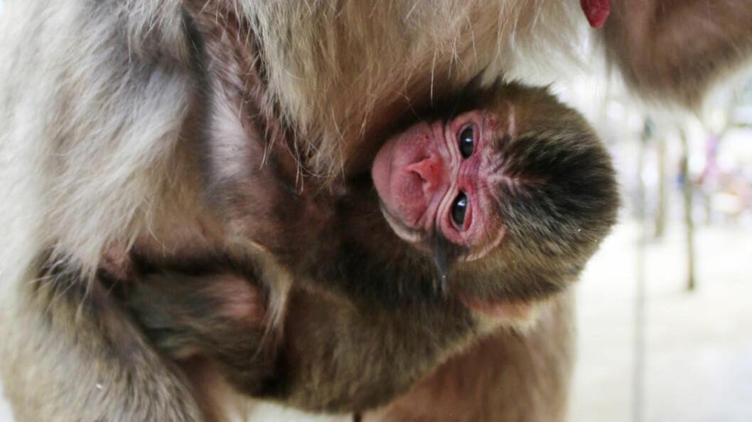 <strong>APEN CHARLOTTE:</strong> Dette er den nyfødte makaken Charlotte. Men det blir hun ikke hetende lenge om dyrehagen tar strømmen av klager til følge. Foto: Takasakiyama-dyrehagen / AP / NTB Scanpix
