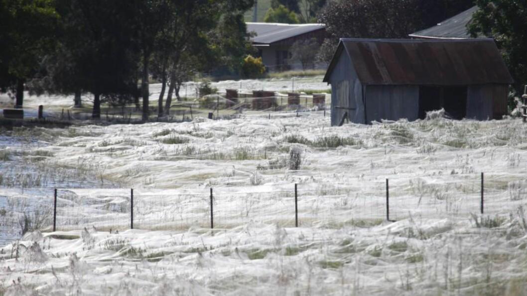 """<strong> SPESIELT FENOMEN:</strong>  I 2012 """"regnet"""" det edderkopper over Wagga Wagga i Australia. Nå skjedde det samme i Southern Tablelands. Foto: EPA/LUKAS COCH AUSTRALIA AND NEW ZEALAND OUT"""