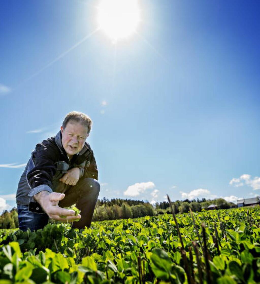 PASSER PÅ:  Bonden Per Oskar Ørmen forteller Dagbladet at han følger godt med på humlene i kløveråkeren. Han planter honningurt langs åkerkanten og han bruker ingen sprøytemidler i sin produksjon - slik at humlene skal trives best mulig der.    Foto: Anita Arntzen / Dagbladet