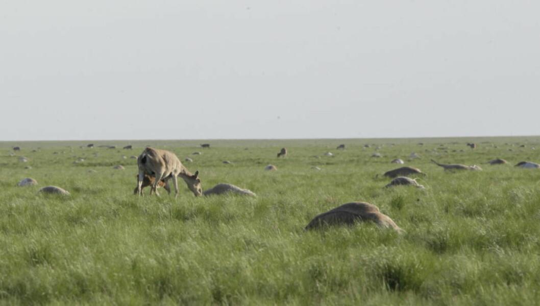 <strong>MASSEDØD:</strong> En saiga-antilope og hennes avkom på det kasakhstanske slettene. Overalt omkring dem ligger døde dyr. Ekspertene mistenker at det skal dreie seg om en bakteriell infeksjon, men endelig svar har de ennå ikke funnet. Så mange som 85 000 dyr skal ha mistet livet den seneste tiden. Foto: REUTERS/Kazakhstan's Ministry of Agriculture/Handout via Reuters/NTB Scanpix