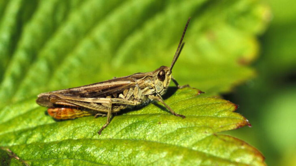 MAT : Over store deler av verden er gresshoppe vanlig mat. Maur og biller også. Vil du teste hvor tøff du er, møt opp i Mathallen i Oslo 3.juni. Foto: SCANPIX