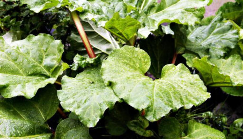PRYDPLANTE: Rabarbraen var medisinsk plante og prydplante før den på 1800-tallet fant veien inn i kjøkkenet. Foto: NINA HANSEN