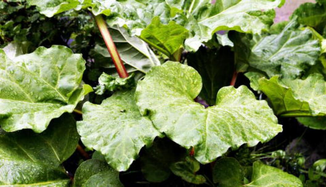 <strong>PRYDPLANTE:</strong> Rabarbraen var medisinsk plante og prydplante før den på 1800-tallet fant veien inn i kjøkkenet. Foto: NINA HANSEN