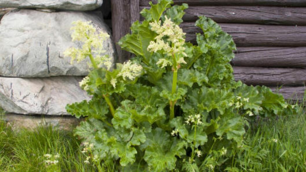<strong>RABARBRATID:</strong> Mange av oss lengter etter rabarbra når våren kommer. Har du ikke problemer med nyrene, er det bare å hive innpå. Foto:ESPEN BRATLIE