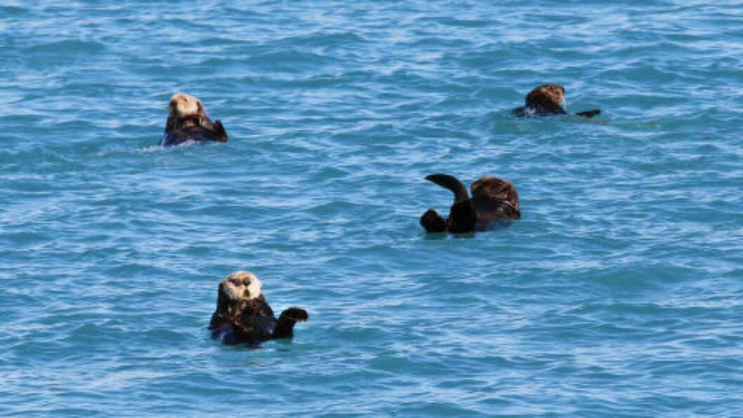 <strong>HAVOTER:</strong> Det var pelsen til havoteren som lokket de første fangstemennene til Alaska. I dag er arten vernet. Foto: RUNAR LARSEN