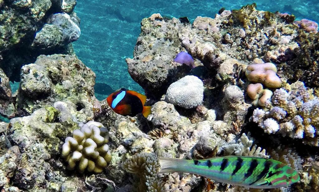 image: Verdens største korallrev er nesten like stort som hele Norge