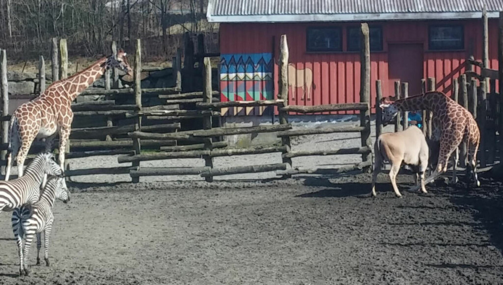 DREPT AV ANTILOPE: Dyreparkens besøkende så at Melvin hadde satt seg fast i gjerdet, og løp for å varsle. Foto: Dagblad-tipser
