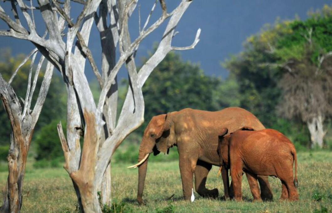 <strong>DREPES FOR STØTTENNENE:</strong> Mellom 2011 og 2013 ble så mange som 20 000 elefanter drept årlig, ifølge FN-tall. Foto: Tony Kurumba / AFP / Scanpix