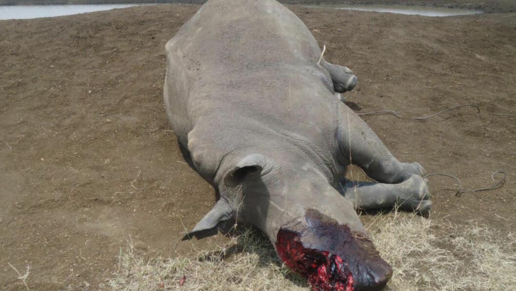<strong>ILLEGAL JAKT:</strong> Dette hvite neshornet ble drept fordi prisen på hornene er så høy på det illegale markedet. Dyret ble skutt i en av Kenyas nasjonalparker. Foto: Kenya Wildlife Services / Ap / Scanpix