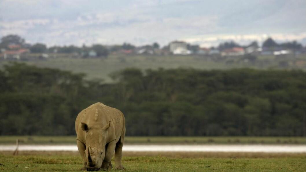 <strong>STADIG FÆRRE:</strong>  Det bor i dag rundt 28 500 neshorn på jorda, men antallet går stadig nedover på grunn av ulovlig jakt etter dyrets ettertraktede horn, som kjøpes og selges for store summer på det illegale markedet. Foto: Antony Njuguna / Reuters / Scanpix