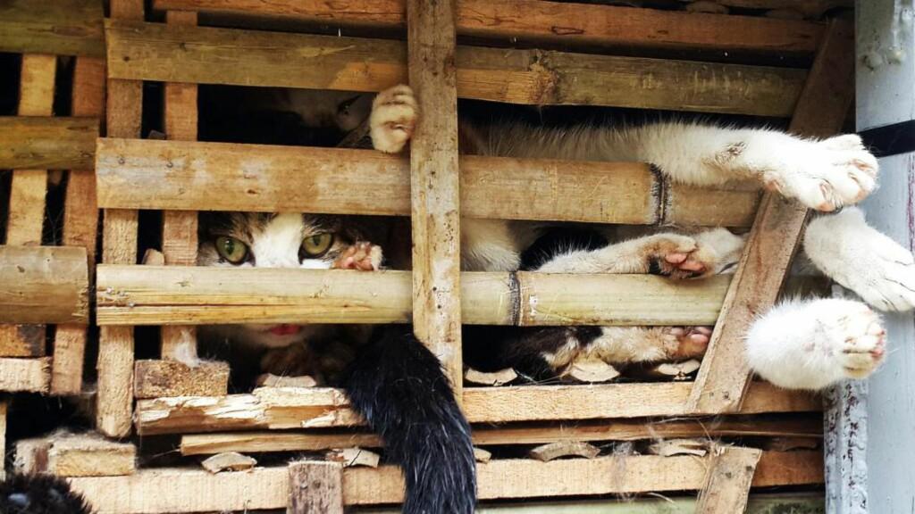 FØRST REDDET, SÅ DREPT: Myndighetene i Vietnam stoppet en smugler med ett tonn katter på vei til å bli mat. Så ble kattene kjørt over og drept. Foto: AFP / NTB Scanpix