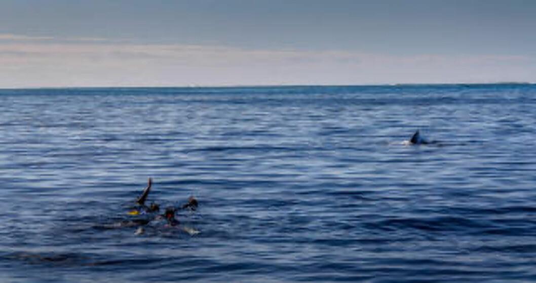 <strong>HVALER FOR ALLE:</strong> Alle kan være med. Er du ingen stor svømmer, har Darren Rice flåter du kan ligge på så du kommer helt inntil de store pattedyra. Foto: DARREN RICE
