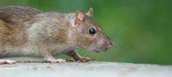 Norsk forsker frikjenner rottene for svartedauden