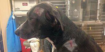 image: Hunden Legend tok to kuler og reddet familien fra ranere